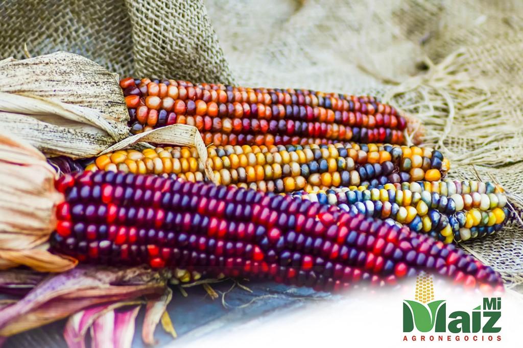 maíz-nativo
